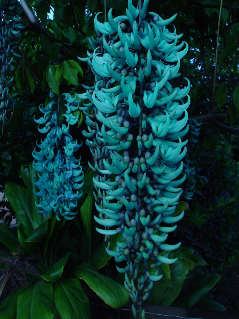 In the yard - green jade vine
