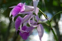 In the yard - Purple Orchid