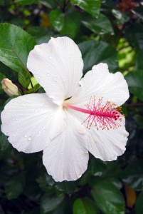 In the yard - native white hibiscus
